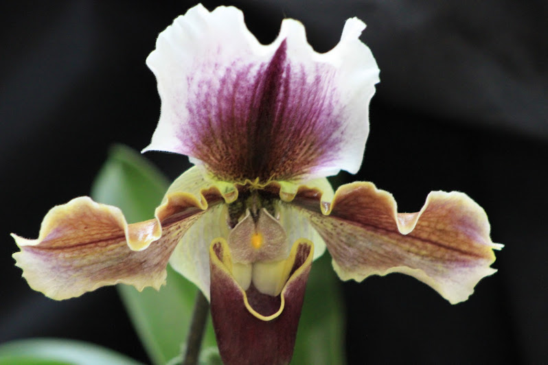Ready for Spring - Iris