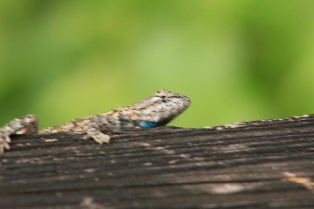 Lizard 2 - Paynes Prairie Nature Preserve Micanopy, Florida