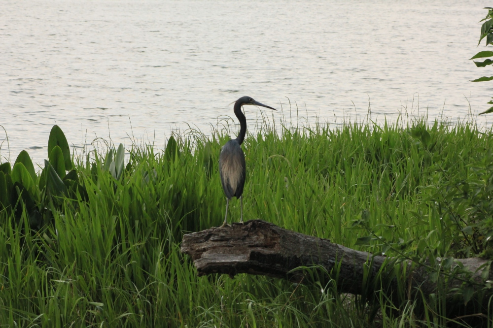 Blue Heron - Paynes Prairie Nature Preserve Micanopy, Fl