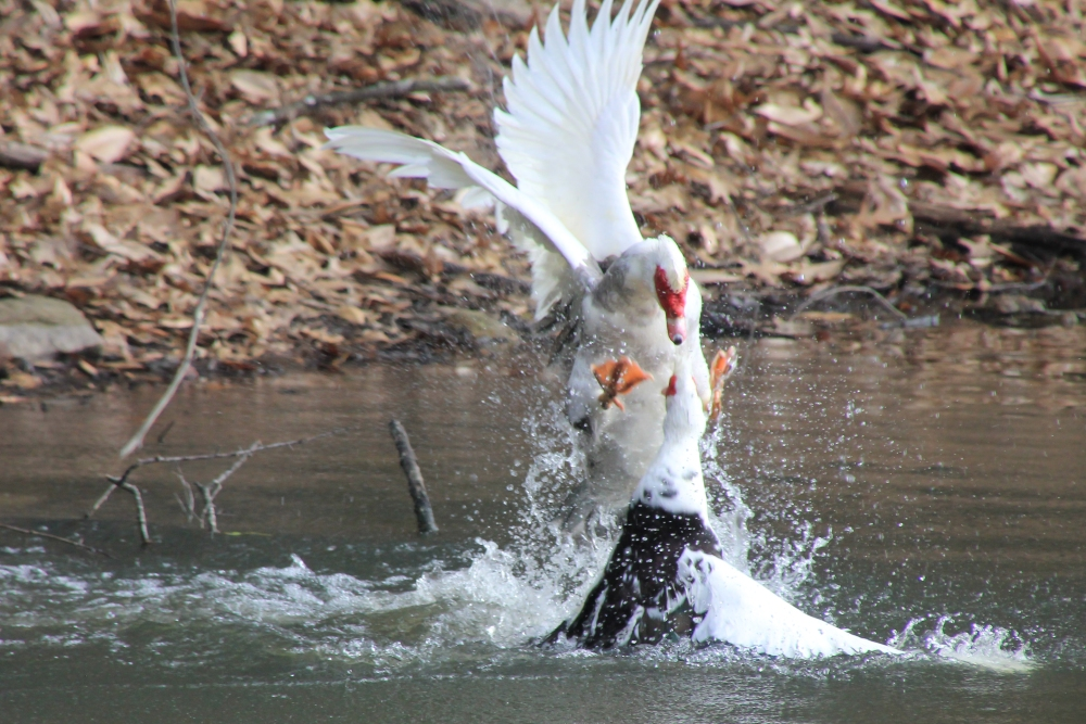 Two Muscovy Ducks fight in the lake at Piedmont Park in Midtown Atlanta.