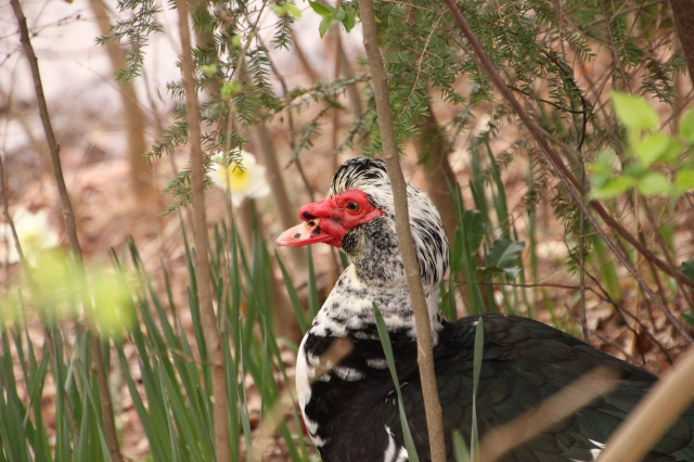 A Muscovy Duck rests in the brush and lilies staring out at the lake at Piedmont Park in Midtown Atlanta.